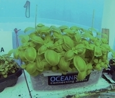Strawberries, Basil and Beans Thrive in Underwater Greenhouses | Erba Volant - Applied Plant Science | Scoop.it