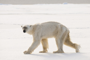 Polar Bear Awes with Record-Breaking Dive | All about water, the oceans, environmental issues | Scoop.it