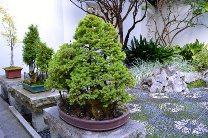 Bonsai: Downsized horticulture, upscale design: Show us your bonsai! | Container Gardening | Scoop.it