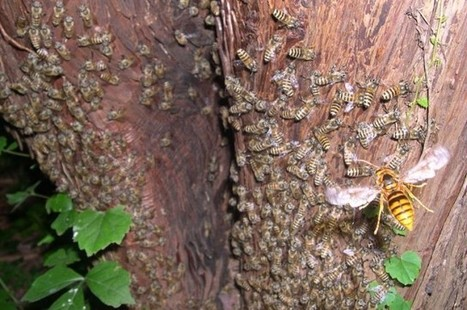 Watch A Hornet Be Cooked Alive By Bees | Beekeeping | Scoop.it