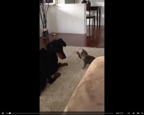 Ärsyynnytkö, jos ärsytän tarpeeksi? Suloinen kissa+koiravideo | Psykologia 4 | Scoop.it