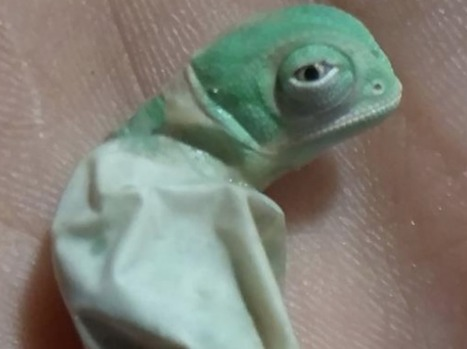 VIDEO. Découvrez en temps réel la naissance d'un caméléon casqué | Biodiversité & Relations Homme - Nature - Environnement : Un Scoop.it du Muséum de Toulouse | Scoop.it