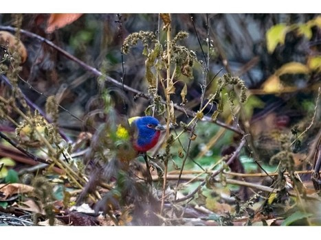 Rare 'Painted Bunting' Bird Seen Chilling in Brooklyn | Greenroofs & Urban biodiversity | Scoop.it