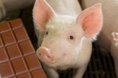 Research: Chocolate as substitute for whey in pig diets | North Carolina Agriculture | Scoop.it