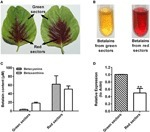Identification of a Catalase-Phenol Oxidase in Betalain Biosynthesis in Red Amaranth (Amaranthus cruentus) | plant cell genetics | Scoop.it