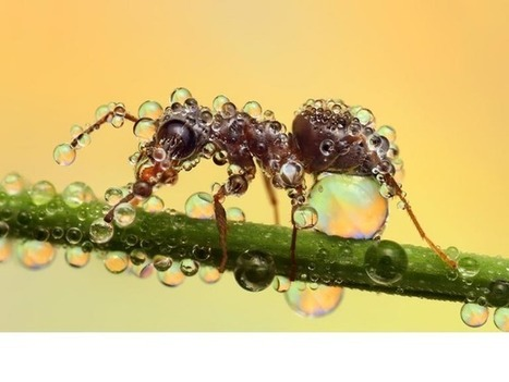 Dew or die - Ant | All About Ants | Scoop.it