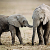 The Fight for Elephant & Rhino Survival