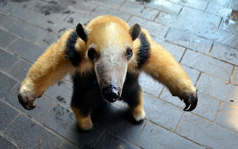 Wandering anteater gets minder at London Zoo - Telegraph | My Funny Africa.. Bushwhacker anecdotes | Scoop.it