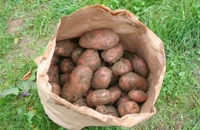 Naturally Blight Resistant Potato Varieties Discovered | Organic Farming | Scoop.it