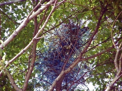 Recycling Tokyo Crows Build Their Nests Out of Coat Hangers | Strange days indeed... | Scoop.it