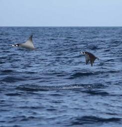 Pourquoi est-ce que les raies Mobula sautent hors de l'eau ? | Rays' world - Le monde des raies | Scoop.it