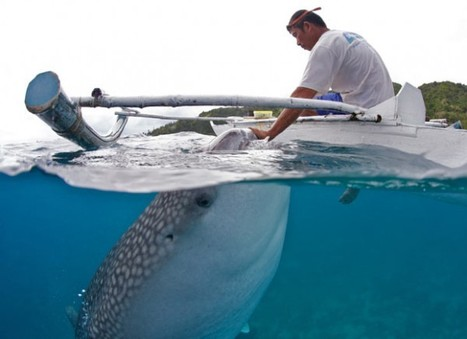 Whale shark ecotourism: the good, the bad and the ugly | Ecotourism | Scoop.it