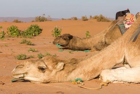 Camel Trekking Morocco - Merzouga Desert Camps   sahara desert tours Morocco   Scoop.it