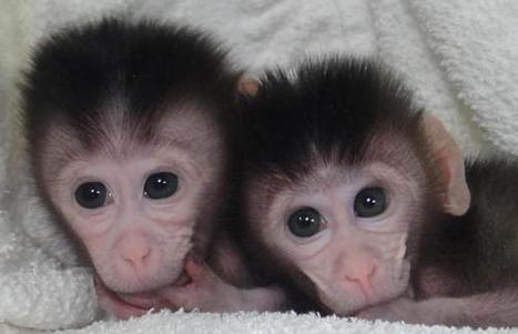 Investigadores chinos editan de forma selectiva el ADN de embriones de monos / Noticias / SINC | BioN | Scoop.it