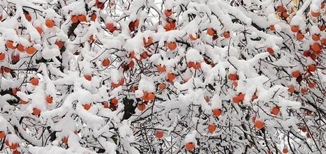 Cachi: il dolce frutto dell'inverno - Arezzo Notizie | Gli alberi nei giardini | Scoop.it