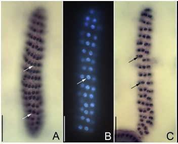 Do All Dinoflagellates have an Extranuclear Spindle? | Protist evolution and biology | Scoop.it