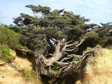 "Iconic ""Tree of Life"" in Kalaloch Is a Monument to Resilience 