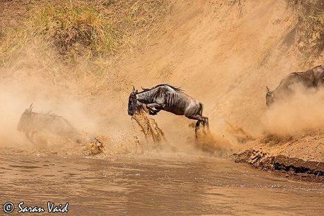 Encounter Eminent Migration in Kenya Masai Mara   Safaris in India & Africa   Scoop.it
