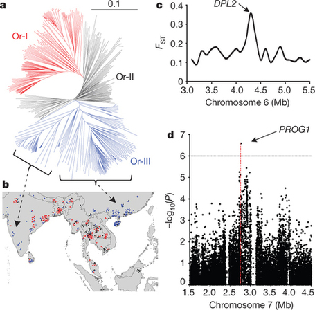 A map of rice genome variation reveals the origin of cultivated rice : Nature : Nature Publishing Group | plant cell genetics | Scoop.it