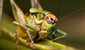 Mating call of an extinct bush-cricket rings out again after 165 million years | Amazing Science | Scoop.it