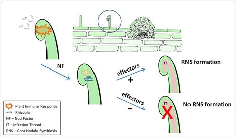 Frontiers | Does plant immunity play a critical role during initiation of the legume-rhizobium symbiosis? | Plant-Microbe Interaction | Emerging Research in Plant Cell Biology | Scoop.it