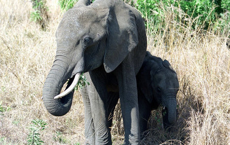 Indian State Pushes for Removal of Elephant-Migration Barrier | Pachyderm Magazine | Scoop.it