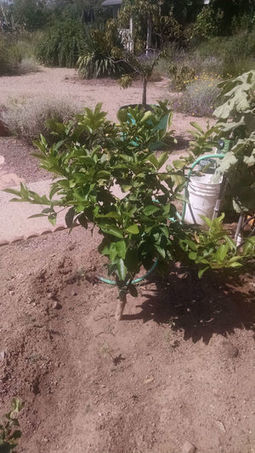 Arizona Gardeners: Watering basins make irrigation simple | Tri-Valley Dispatch (Casa Grande AZ) | CALS in the News | Scoop.it