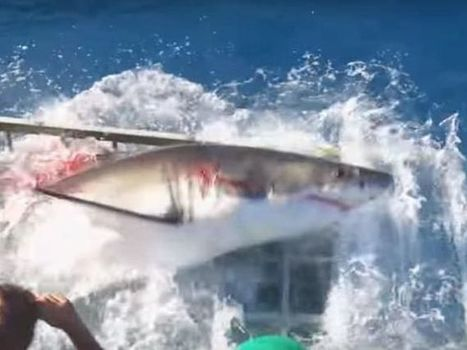 Great white shark breaks into cage...and your nightmares | ScubaObsessed | Scoop.it