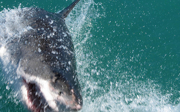 Australia Okays Hunting of the Great White Shark | Endangered species Australia | Scoop.it