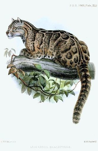 Could Extinct Clouded Leopards Be Reintroduced in Taiwan? | Naturalist Education | Scoop.it