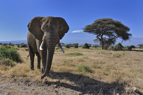 The Silent Killer of Wildlife: How Economic Development Threatens African Elephants | Human-Wildlife Conflict: Who Has the Right of Way? | Scoop.it