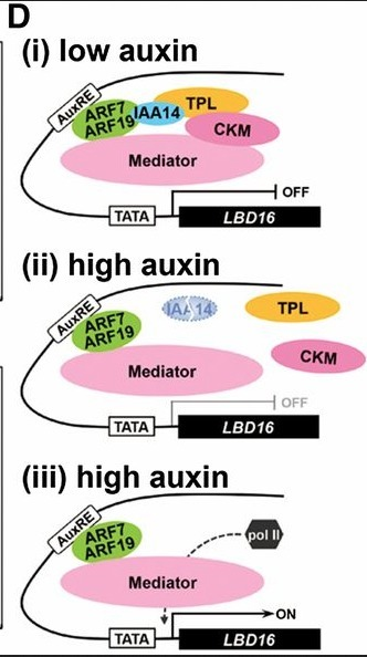 Auxin-dependent compositional change in Mediator in ARF7- and ARF19-mediated transcription | fundoshi TOPICS: Plant biology, cell biology, and more | Scoop.it