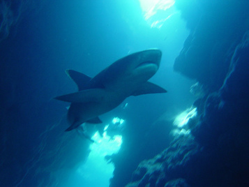 Education the path to more support for shark conservation | GarryRogers NatCon News | Scoop.it