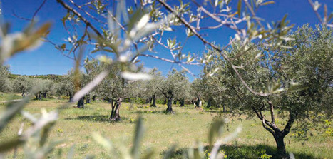 The French Olive Oil Interprofessional publishes Guide on Pests and Diseases of the Olive Tree | Wine & Olive Oil Strategy & Sustainability | Scoop.it