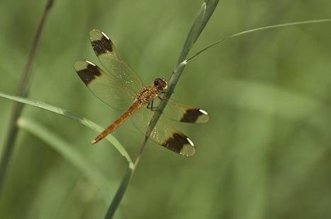 Libellules du monde Entier   Insect Archive   Scoop.it