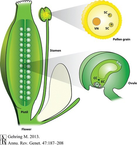 Genomic Imprinting: Insights From Plants - Annual Review of Genetics, 47(1):187 | plant cell genetics | Scoop.it