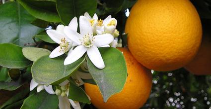 Golden orange | Avant Garde | Climate Change + Food | Scoop.it