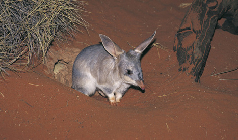 Martu people preserve bilby population with traditional knowledge | Lorraine's Environmental Change &  Management | Scoop.it