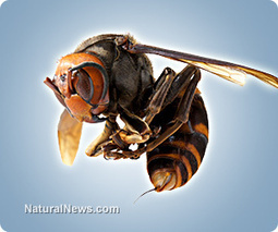 In China, giant hornets kill 28 and injure hundreds more | News You Can Use - NO PINKSLIME | Scoop.it