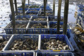 Virus Makes French Oysters Rarer Treat for Holiday Season - Bloomberg | Aquaculture | Scoop.it