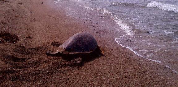 Biodiversité marine : Massacre de tortues de mer à Rodrigues | Zones humides - Ramsar - Natura 2000