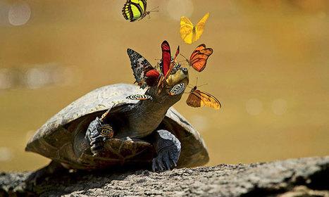 En plein coeur de la forêt amazonienne, les papillons s'abreuvent des larmes de tortues pour survivre | Ecology view | Scoop.it