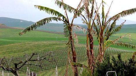 Le regard des vignerons siciliens sur le changement climatique | Le Vin et + encore | Scoop.it