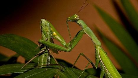 Why Female Praying Mantises Devour Their Partners During Sex | Nerd Vittles Daily Dump | Scoop.it