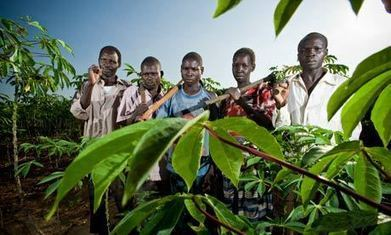 Cassava can become Africa's new cash crop | Agriculture, Environment and Trade | Scoop.it