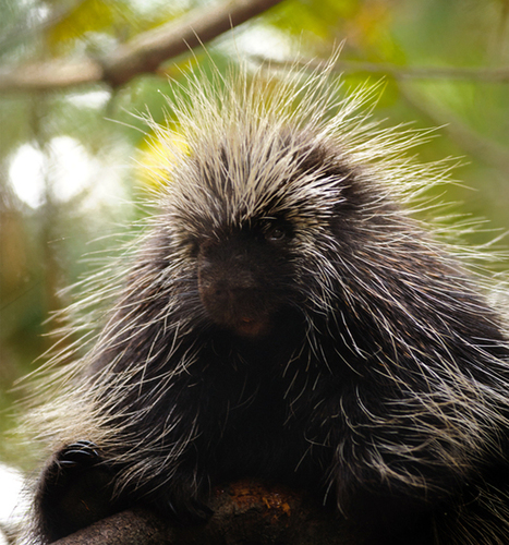 Why porcupine quills slide in with ease but come out with difficulty | My Science, My Story | Scoop.it