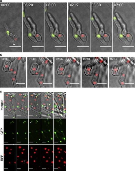 Nuclear dynamics and genetic rearrangement in heterokaryotic colonies of Fusarium oxysporum | Fungal|Oomycete Biology | Scoop.it