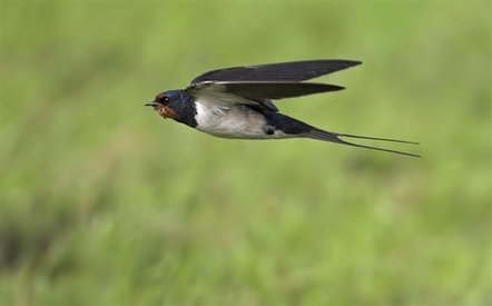 This weekend... spot a swallow... or something else? - Notes on nature - Wildlife - The RSPB Community | 100 Acre Wood | Scoop.it