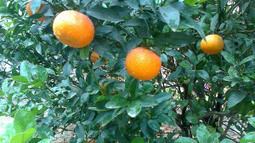 Researchers Find Chemicals That Treat Citrus Greening | Research Capacity-Building in Africa | Scoop.it