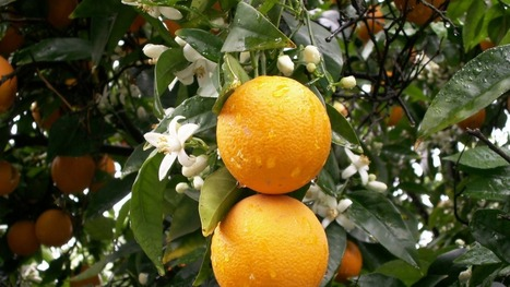 Citrus Tested In Cold-Acclimating Temperatures - HACCPEuropa | Citrus science | Scoop.it